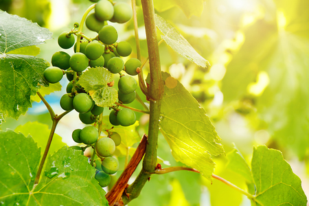 A bunch of green grapes ripens under the rays of the summer sun