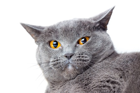 British gray shorthair cat close up on a white background
