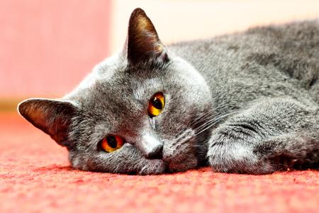 Portrait of a lying British shorthair cat