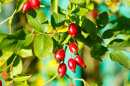 Red rosehips ripen on the branches