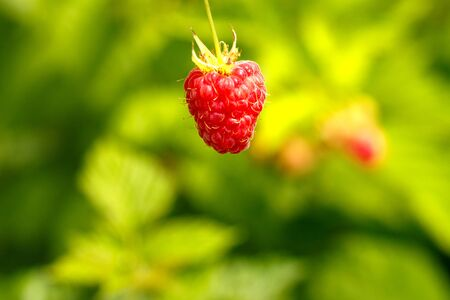 Red raspberry on a green background Stockfoto