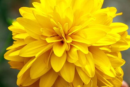 Yellow chrysanthemum flower close up as background and texture