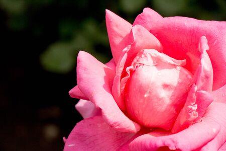 czerwona róża z kroplami wody