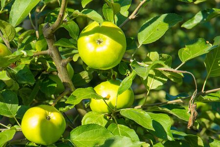 The fruits of the apple tree ripen under the rays of the sun Stock Photo