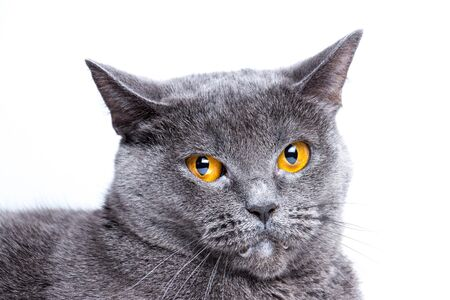 Portrait of a british smooth-haired blue cat close-up