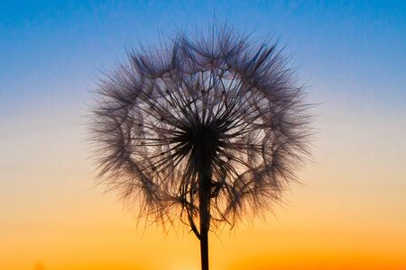 Fluffy big dandelion against the backdrop of the setting sun