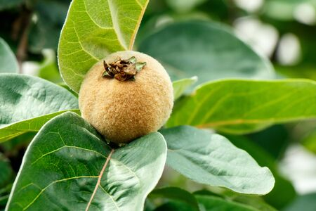 Tasty ripe juicy quince fruit on a branch Stock Photo