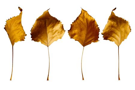 Autumn yellow poplar leaves isolated on white background