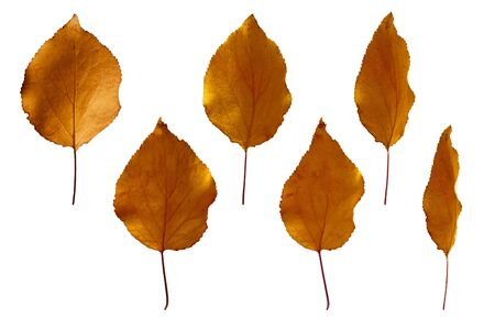 Autumn yellow apricot leaves isolated on white background