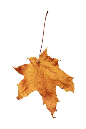 Autumn maple leaf isolated on a white background, as a graphic resource. Stock Photo