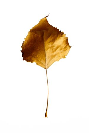 Autumn leaf poplar, isolated on a white background, as a graphic resource. Stock Photo