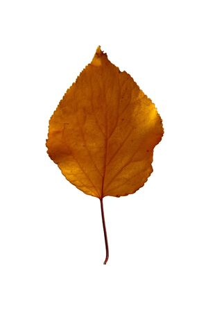 Autumn apricot leaf, isolated on a white background, as a graphic resource.