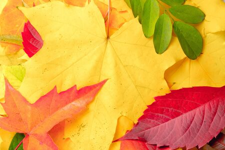 Autumn multicolor dry maple-leafs background