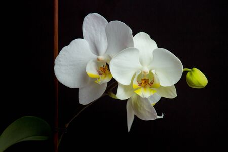 Beautiful white orchid flowers on a dark background Stock Photo