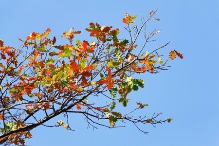 Oak branches with beautiful colorful autumn leaves against a blue sky