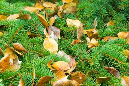 Yellow leaves of trees lie on green spiny branches of coniferous trees