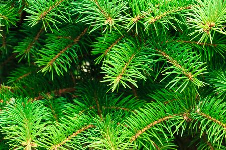green spiny branches of fir or pine, background