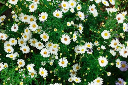 A lot of little white daisies as a background Stock Photo