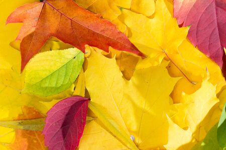 Autumn background multicolored yellow green red leaves