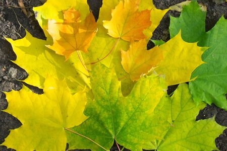 Autumn yellow green orange maple leaf close-up as a graphic resource
