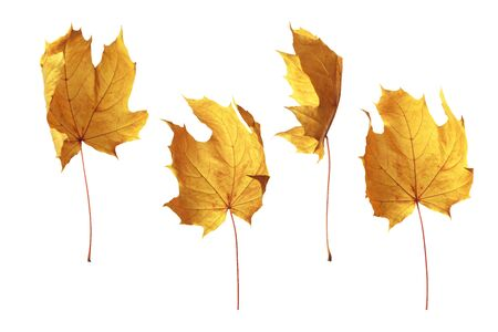 Autumn yellow poplar leaf isolated on white background
