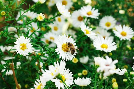 Bee collecting pollen on a small white daisy Stock Photo