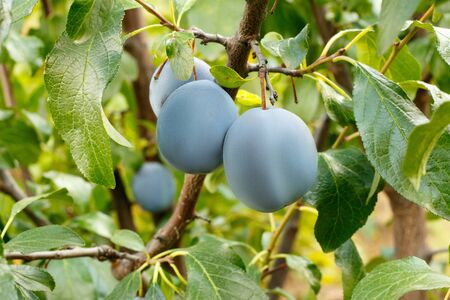 Blue plums sing in a tree garden