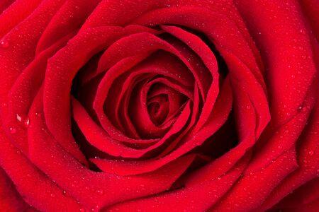 beautiful red rose closeup as background Фото со стока