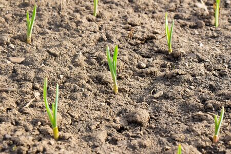 Crops planted in rich soil grow under the spring sun