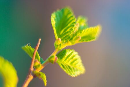 Blossoming leaves of trees from buds in spring.