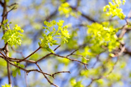 Young blossoming leaves of trees against the sky. Фото со стока