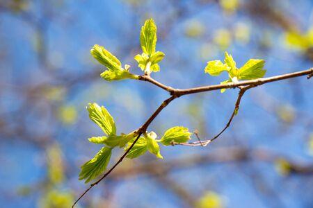 new leaf and sun ray Фото со стока