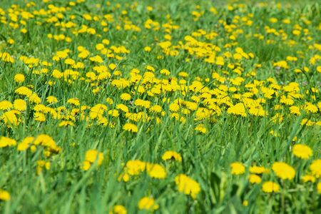 Fields of blooming yellow dandelions among green grass