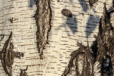 birch bark closeup as background Фото со стока