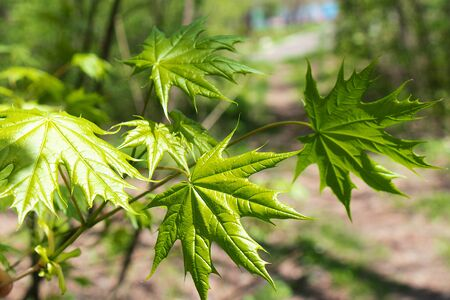 Young green fresh bright maple leaves under the rays of the sun