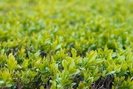 Young green dense foliage of shrubs as a background close-up. Фото со стока