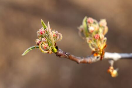 The opening buds of an apple tree close-up.