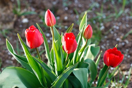 beautiful red tulips blooming in the spring garden
