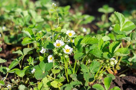 White flowers of blooming strawberries in the garden. Фото со стока