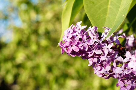 Purple lilac flowers close-up on a green background.