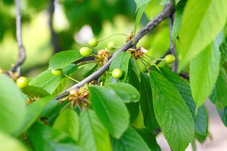 Young, green cherries on a tree branch.