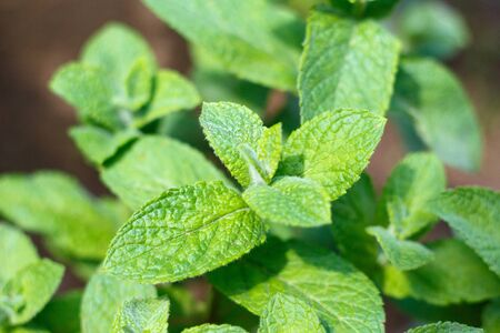 Fresh green mint sprouts as a background.