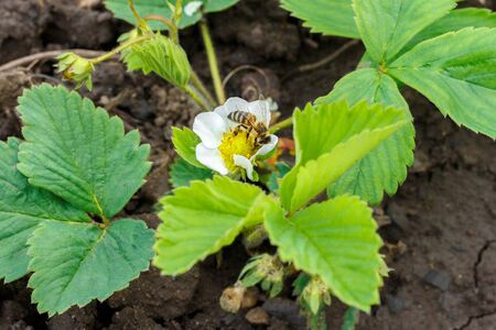 Bee pollinates and sits in a white strawberry flower
