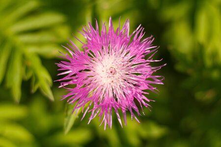Purple Cornflower, Bilberry Cornflower close-up top view.