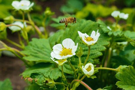 A bee collects pollen from white flowers of strawberries.