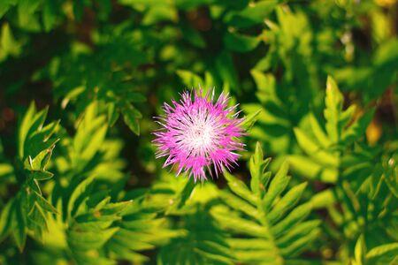 Purple cornflower (Centaurea nigra) close-up on blurred background of green field