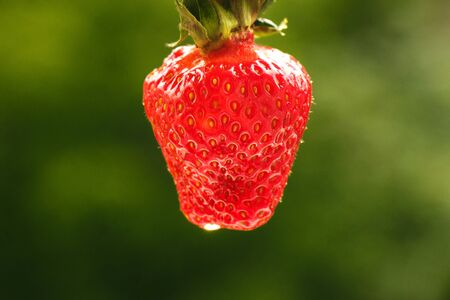 Fresh bright juicy mature large strawberry on a natural green background close-up Фото со стока - 148651135