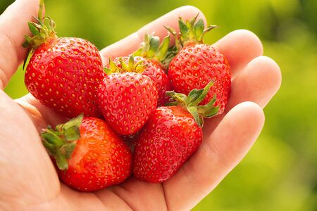 Hand holding a strawberry with a bite taken out against a green leafy background Фото со стока - 149229264
