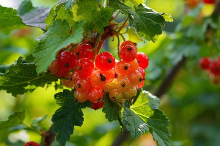 A bush of ripe red currant berries, juicy fruits of berries not torn hang on a branch Imagens - 149229293