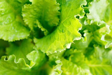 green lettuce leaves closeup as background